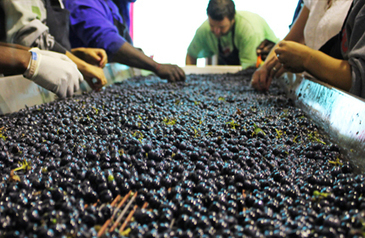 2013 Wine Harvest Report: South Africa | Vitabella Wine Daily Gossip | Scoop.it