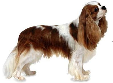 How To Groom a Cavalier King Charles Spaniel? | Pets World | Pets – Your Little Friends | Scoop.it
