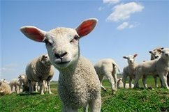 Gene study shows sheep not inbred fools | World Neolithic | Scoop.it