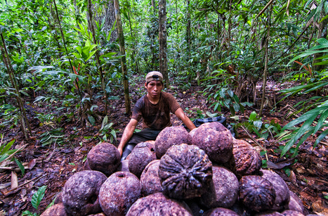 Harvesting both timber and Brazil nuts in Peru's Amazon forests: Can they coexist? | Food Security & Sustainability | Scoop.it