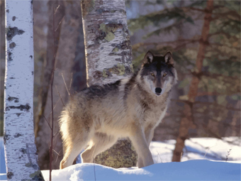 Protecting Wolves by Throwing Them to the Wolves? | ecology | Scoop.it