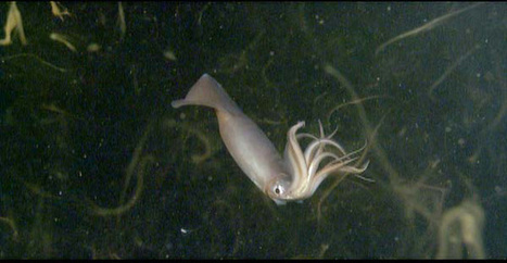 """""""No Oxygen? No Problem!"""" Says Squid That Can Shut Down Its Metabolism - Inkfish   DiscoverMagazine.com   All about water, the oceans, environmental issues   Scoop.it"""