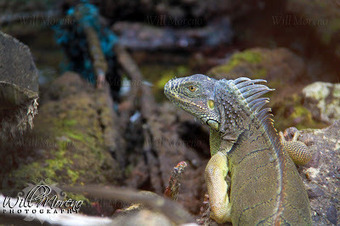 Photo of Iguana in Belize | Bird Watching & Conservation In Belize | Scoop.it