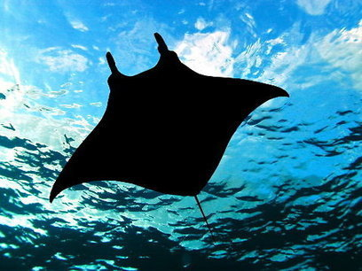 Voracious Demand Threatens Manta and Mobula Rays   Ocean Conservation   Scoop.it