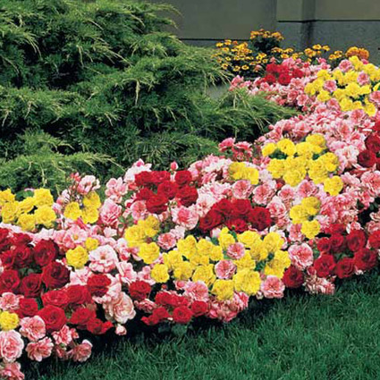 Mixed Magic Rose Hedge | Springhill Nursery | Scoop.it