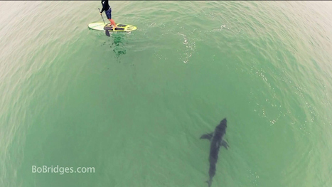 Amazing Video Captures Shark Swimming By Paddleboarders in ... | Shark conservation | Scoop.it