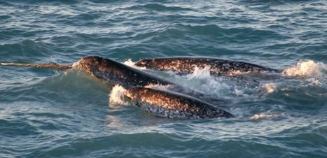 Narwhal Hunt Expanded | As It Happens with Carol Off and Jeff Douglas | CBC Radio | Dolphins | Scoop.it