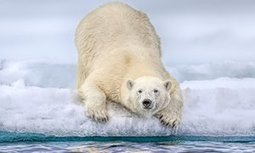 Polar bears losing crucial sea ice: study | Lorraine's Environmental Change &  Management | Scoop.it