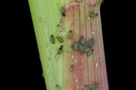 The herbivore dilemma: How corn plants fights off simultaneous attacks: Maize plants may face a metabolic tradeoff when defending against both aphids and caterpillars | Erba Volant - Applied Plant Science | Scoop.it