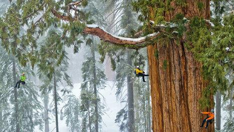 Un sequoia géant de 3 200 ans photographié pour la première fois en une seule image | Tout le web | Scoop.it