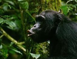 Chimp calls suggest language evolved from a song | Sciences | Scoop.it