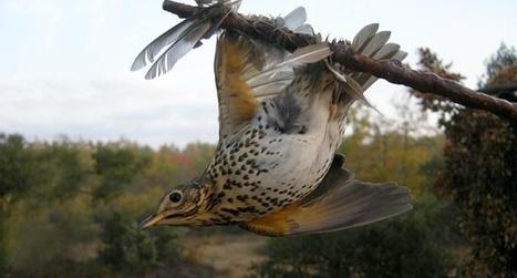 Loi biodiversité : l'autorisation de la chasse à la glu maintenue | Chronique d'un pays où il ne se passe rien... ou presque ! | Scoop.it