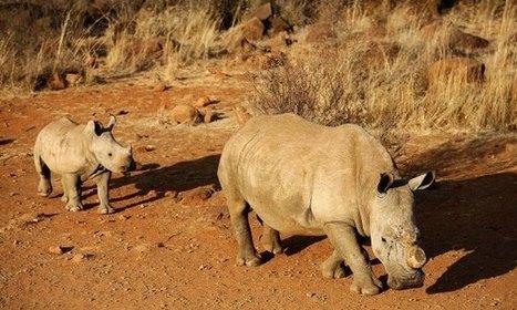 Western Black Rhino Declared Extinct | TIME.com | Animal Sciences | Scoop.it