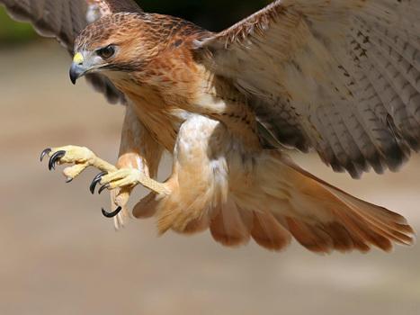 Halcon atacando   Las aves   Scoop.it