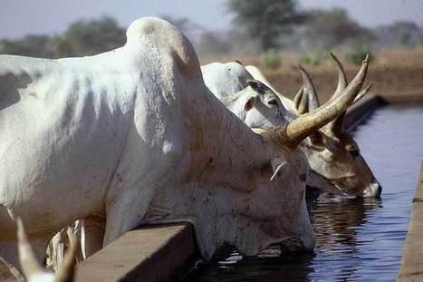 FAO coordinates strategies to combat Contagious Bovine Pleuropneumonia in Africa   Sustainable Livestock development   Scoop.it