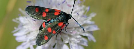 L'inquiétant déclin des papillons témoigne des atteintes toujours plus graves à la biodiversité | Sport21.fr | Scoop.it