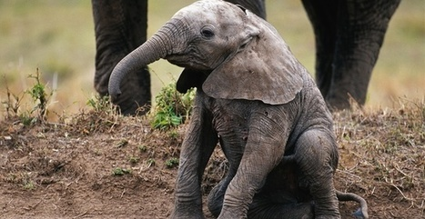 Save Elephants From Extinction | GarryRogers NatCon News | Scoop.it