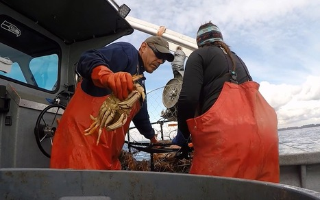 Lucrative Dungeness crab fishery faces threat from acidic oceans | Changing Chemistry - The People Impacted by Ocean Acidification | Scoop.it