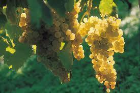 Des nouveaux cépages pour le vignoble Charentais? | Le Vin et + encore | Scoop.it