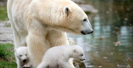 Polar Bears Face Threats to Survival Thanks to Too Much Ice - Town Hall | Global warming | Scoop.it