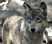 Wolf shooting in Minnesota leads to questions about hunting law   Grand Forks Herald   Grand Forks, North Dakota   The Wild Planet   Scoop.it