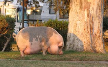 EU Pork Producers Defy Anti-Cruelty Law | Nature Animals humankind | Scoop.it
