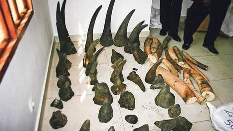 Thieves raid huge rhino horn haul in Mozambique | What's Happening to Africa's Rhino? | Scoop.it
