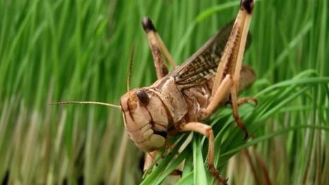 Des hordes de criquets envahissent la Russie | EntomoNews | Scoop.it