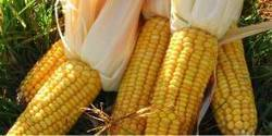 Ghana: Tonnes of maize rotting in Northern Region | MAIZE | Scoop.it