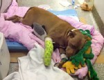 Pit Bull Rescues Unconscious Owner | animals on our planet | Scoop.it