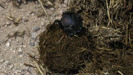 Un scarabée s'accouple avec une bouteille? La science enquête! | Mais n'importe quoi ! | Scoop.it