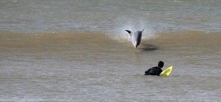 Los delfines compartieron olas con los surfistas este fin de semana en La Paloma   Prensa Ambiental VSUy   Scoop.it