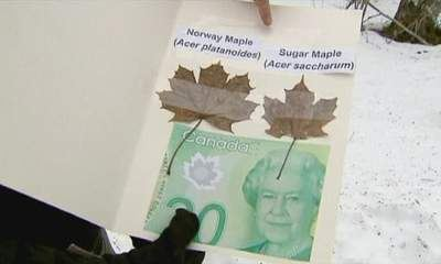 Wrong species of Maple leaf on new Canadian bank notes | AnnBot | Scoop.it