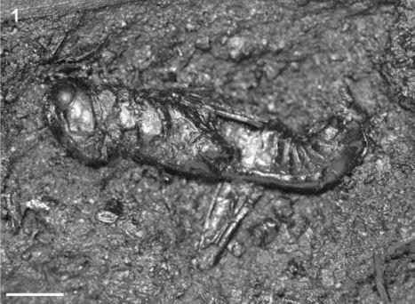 Un criquet fossile de la fin du Pléistocène en Californie, le premier jamais découvert de l'espèce Melanoplus differentialis [en anglais] | EntomoNews | Scoop.it