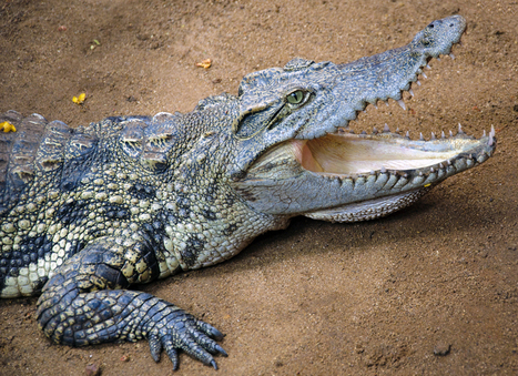 Crocodiles can climb trees, study finds | The Rundown | PBS NewsHour | PBS | iScience Teacher | Scoop.it