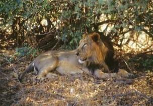 Gir National Park, Wildlife, Junagadh, Tourism Hubs, Gujarat, India   Destination Brand Management   Scoop.it