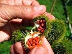 The Annato Tree: Friend orFoe? | Belize in Social Media | Scoop.it