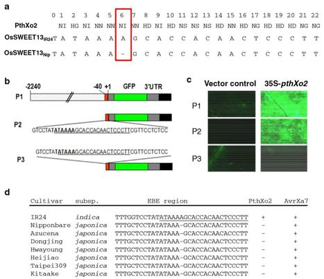 Gene targeting by the TAL effector PthXo2 reveals cryptic resistance gene for bacterial blight of rice - Plant J. | Hot topics on Science, biotechnology and plant pathology | Scoop.it