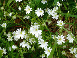 Soothe Me With Greater Stitchwort | Life on Pig Row | Wild food | Scoop.it