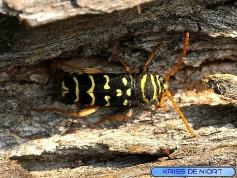 Photos d'insectes : Clyte arqué - Clyte à croissants - Plagionotus arcuatus   Fauna Free Pics - Public Domain - Photos gratuites d'animaux   Scoop.it