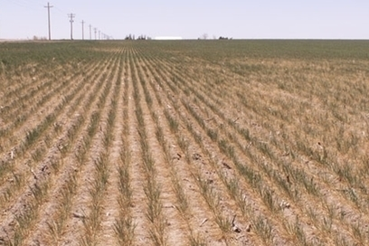U.S. Rains Rescue Kansas Wheat From Second Drought Disaster   Grain du Coteau : News ( corn maize ethanol DDG soybean soymeal wheat livestock beef pigs canadian dollar)   Scoop.it
