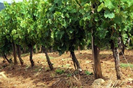 La grêle frappe le vignoble de Limoux | Le vin quotidien | Scoop.it