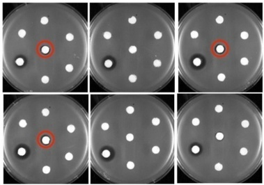 Engineered E. coli turn into tiny factories for producing new forms of common antibiotic | Amazing Science | Scoop.it