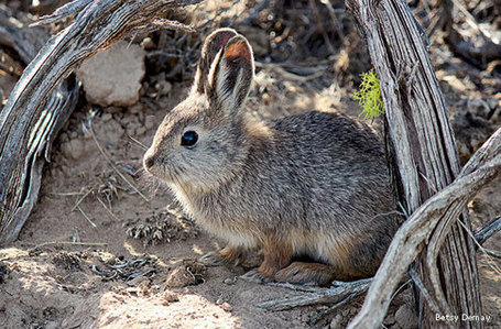 Return of the Mighty Pygmy Rabbit - National Wildlife Federation | Wildlife News | Scoop.it