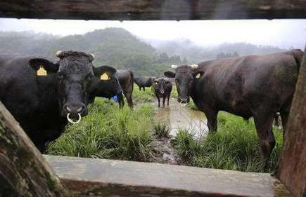 Cows in Fukushima radiation zone find new purpose: science | Sustain Our Earth | Scoop.it
