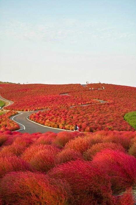 Kochia Hill, Hitachinaka City, Japan | Harmony Nature | Scoop.it