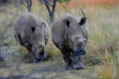 S.Africa faults trophy hunting firms amid poaching crisis | Trophy Hunting: It's Impact on Wildlife and People | Scoop.it
