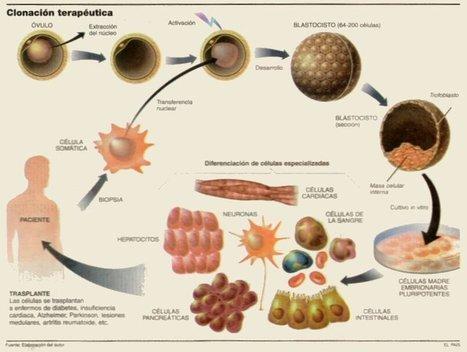 Clonación terapéutica. La transferencia nuclear ya es humana… | Clonacion | Scoop.it