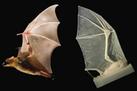 Robotic Bat Wing Mimics a 'Spectacular Flyer' | Biomimicry | Scoop.it