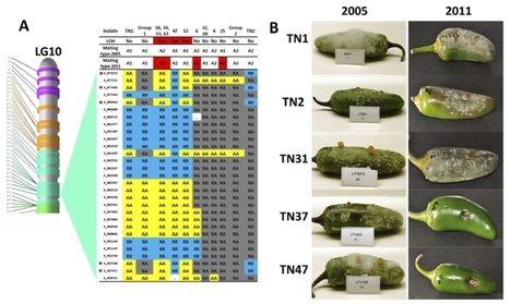 MPMI: Genome sequencing and mapping reveal loss of heterozygosity as a mechanism for rapid adaptation in the vegetable pathogen Phytophthora capsici (2012) | Publications | Scoop.it